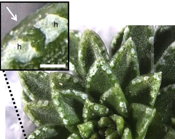 Photograph of the chalk glands (hydathodes) on the leaf margins of Saxifraga alpine plant species have been found to produce the rare mineral vaterite. Image courtesy of Paul Aston.