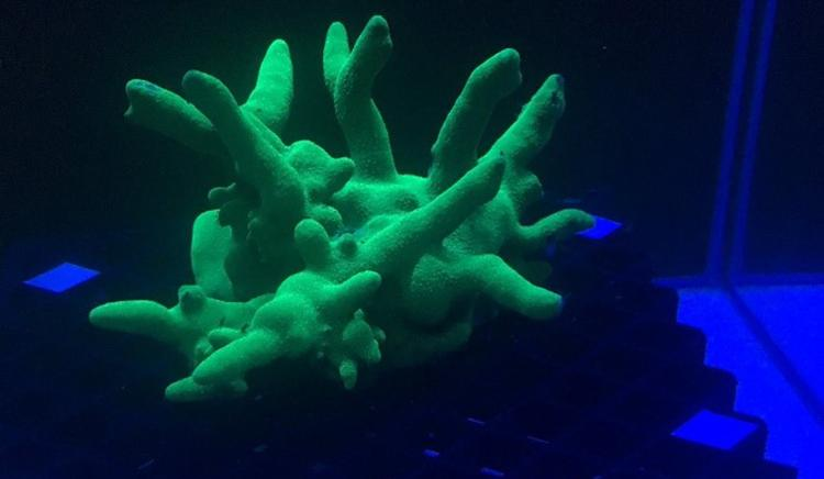 Photo of coral (Montipora digitata) displaying bright green fluorescence